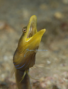 Blue Throat Pike Blenny by Suzan Meldonian 